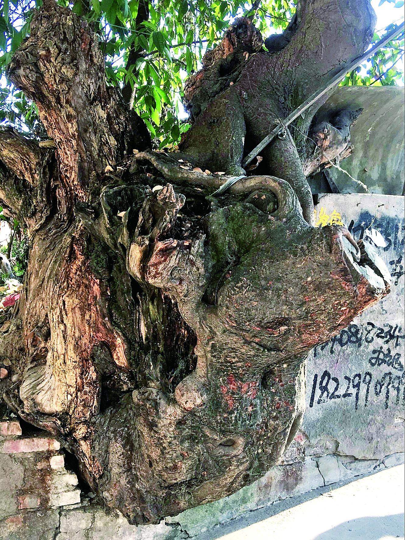 奇!被弃朽木根雕竟长成大树 树蔸酷似水牛背着鸵鸟跑