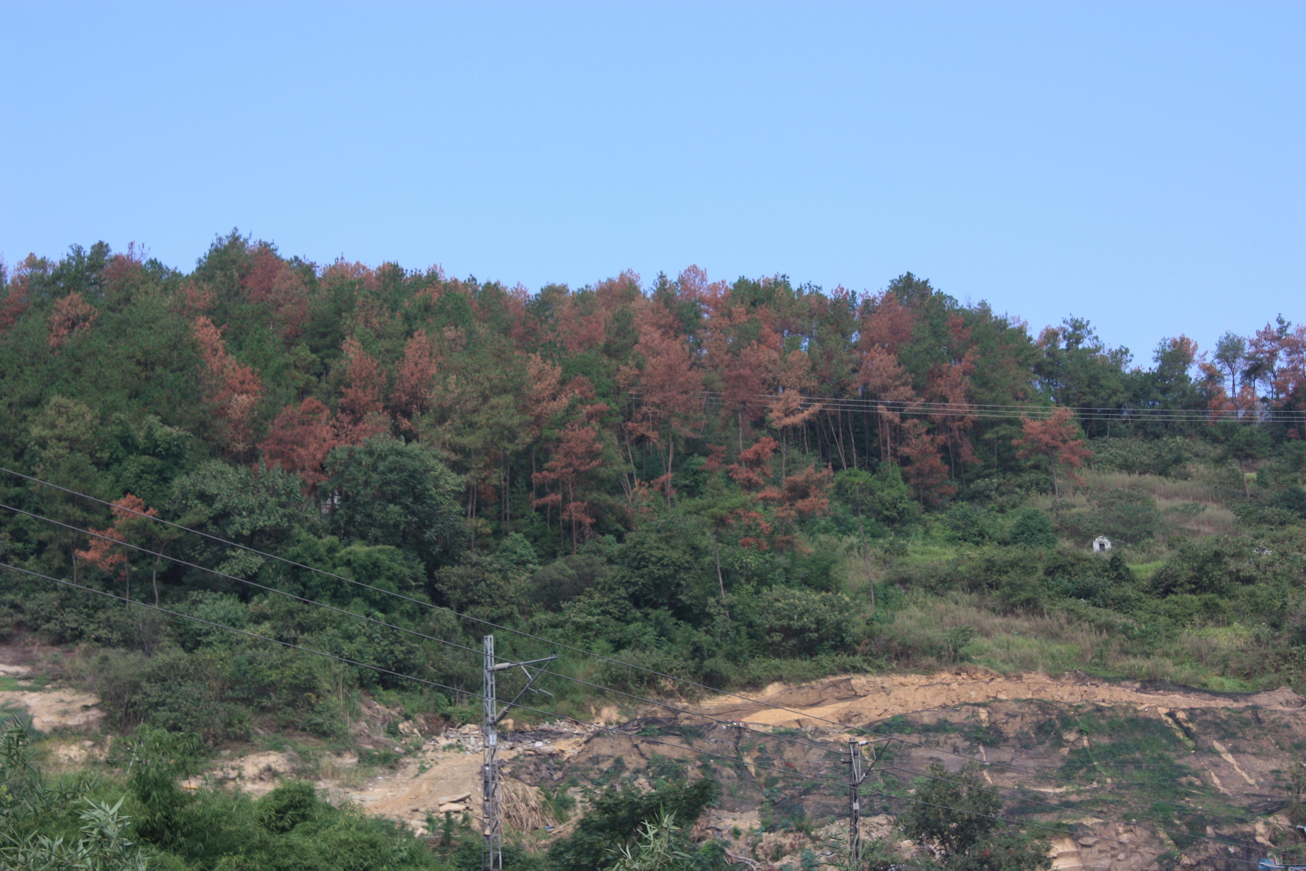 """62个乡镇48万株松树""""患癌"""" 达州打响除治攻坚战"""