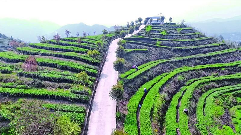 万源建成东西部扶贫协作茶叶基地9900亩