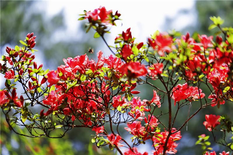 最美人间四月天,宣汉观音山杜鹃花开正艳!约吗?