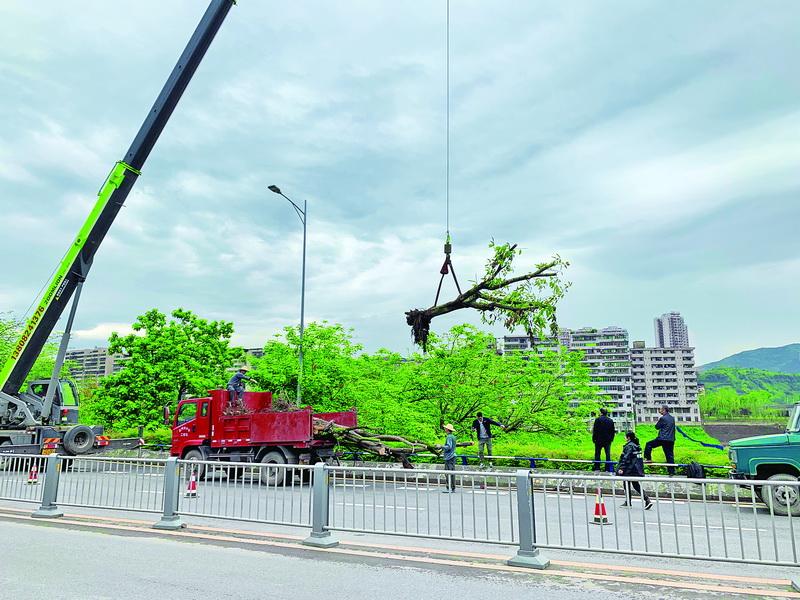 """滨河游园正在进行""""旧木换新树""""市民将在鸟语花香中漫步"""