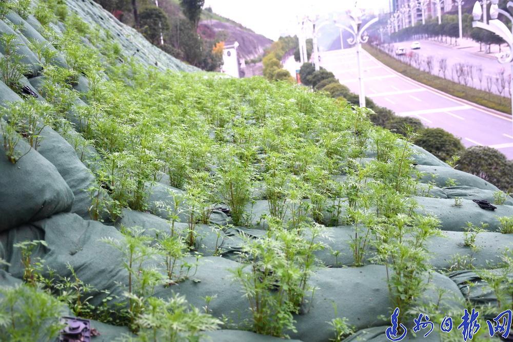 波斯菊、苜蓿、紫槐…!明年夏天,达城这里将成为新的网红打卡地