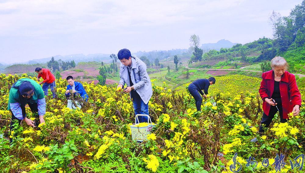 发展金丝皇菊产业实现持续稳定增收