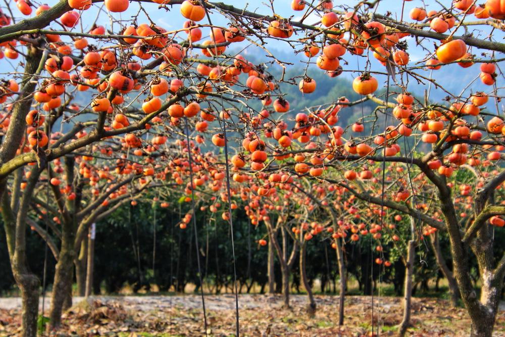 烏梅山上柿子紅