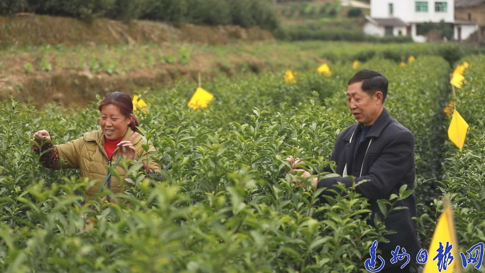 2万余户茶农走进茶园采下今年的第一抔春茶