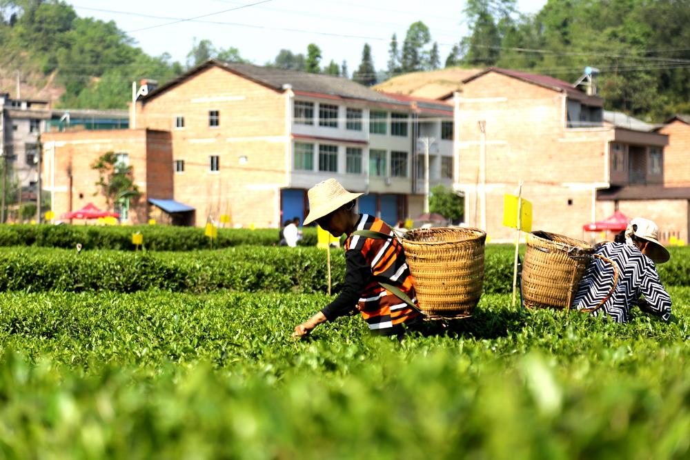 """依托茶文化 做大茶产业!广福镇借""""茶""""发力带动乡村振兴"""