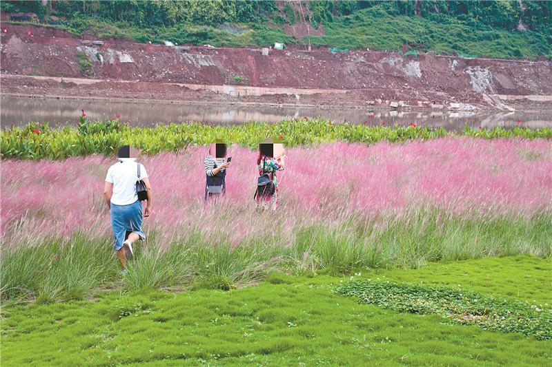 """市民""""打卡""""不温柔~ 达州塔沱湿地公园""""粉色花海""""再遭摧残"""
