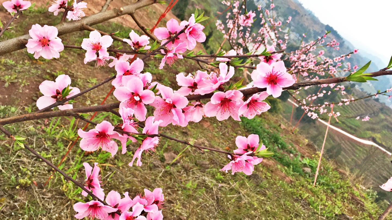 美了美了!如诗如画的千亩桃、李花争相开放