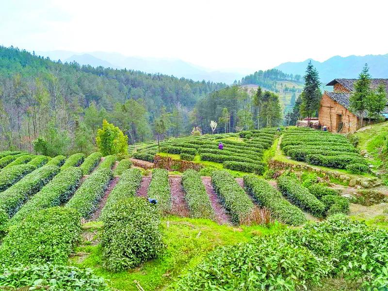 """""""蜀馨""""茶品:天然生态好茶"""