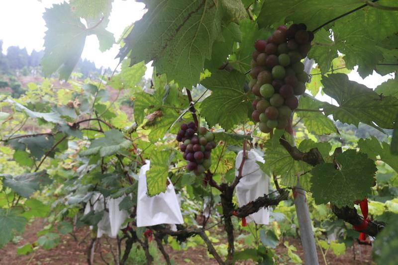 达川区:青包山上葡萄香