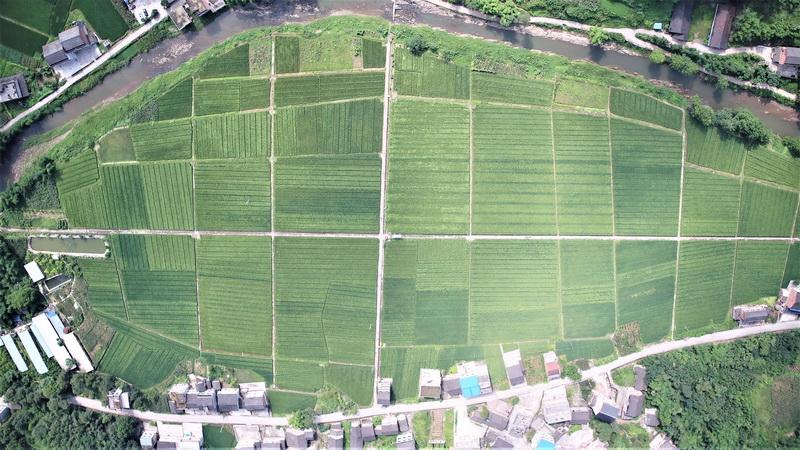 12年大竹县杂交水稻制种面积增长60余倍