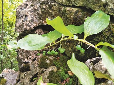 宣汉、万源发现植物新物种翅茎黄精