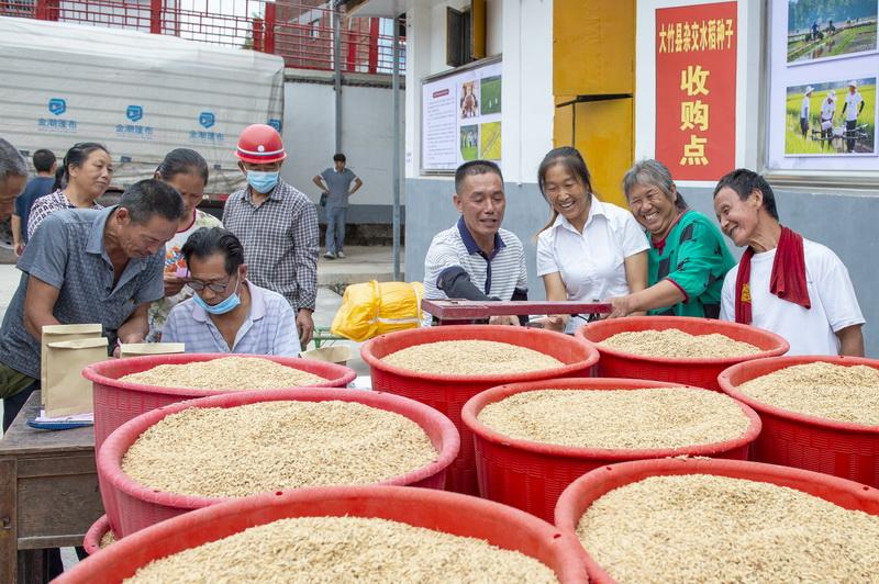 大竹县杂交水稻制种基地完成种子收购入库